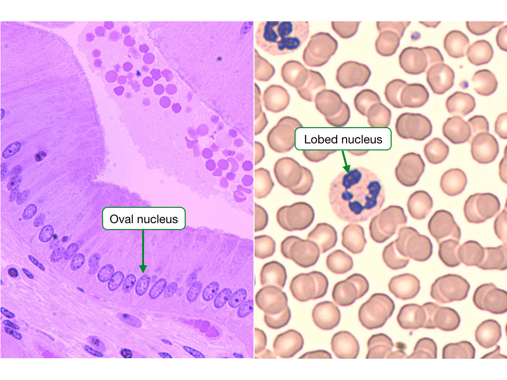 Images showing that nuclei have different shapes in different cells