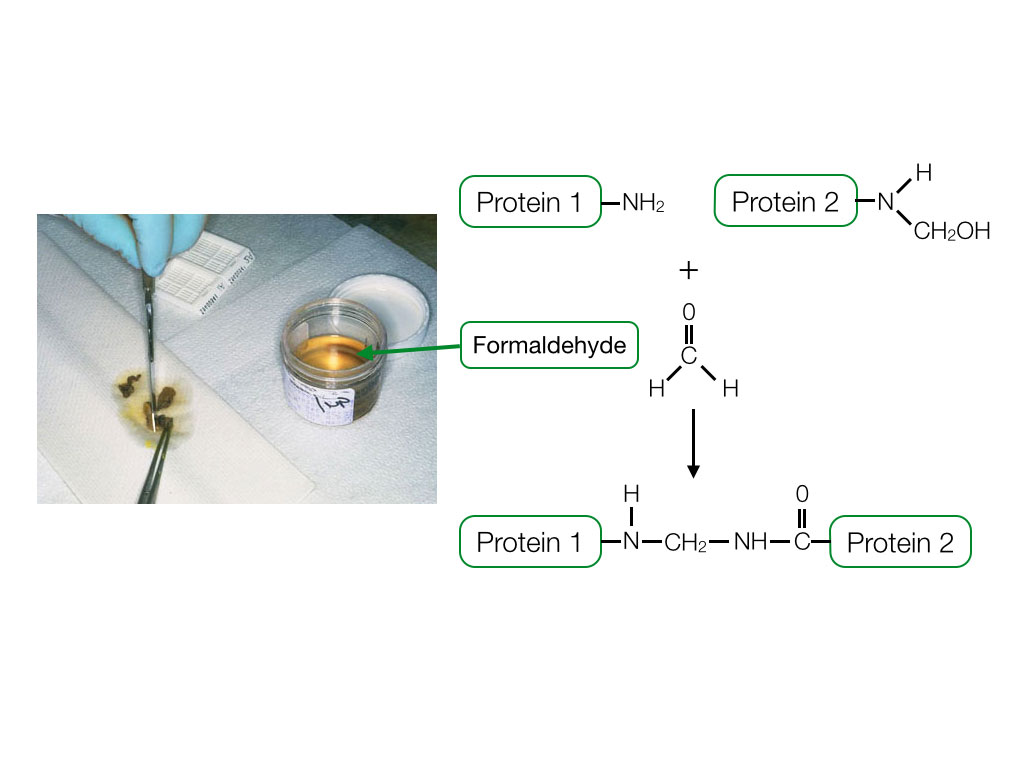 Chemical reaction between protein and fomaldehyde that crosslinks prorteins.