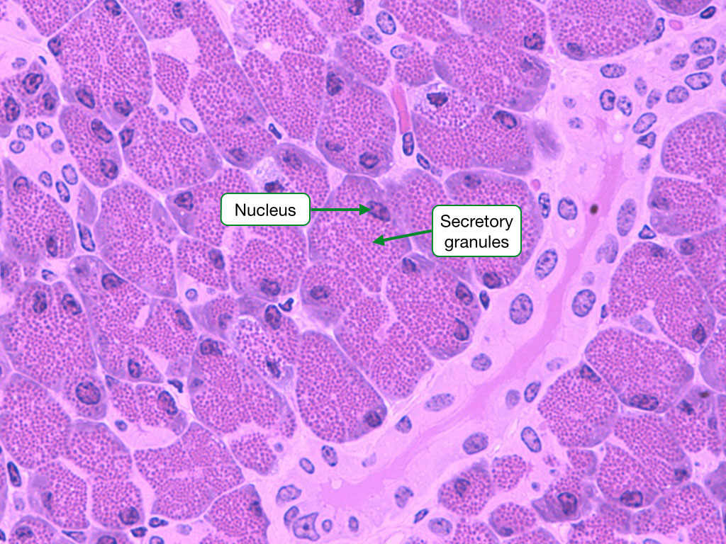 H and E stained sample showing cells with prominent secretory granules.