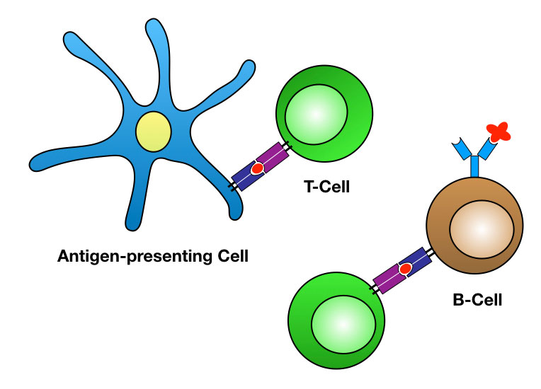 Diagram of interactions between antiigen presenting cells and T cells and between T cells and B cells.