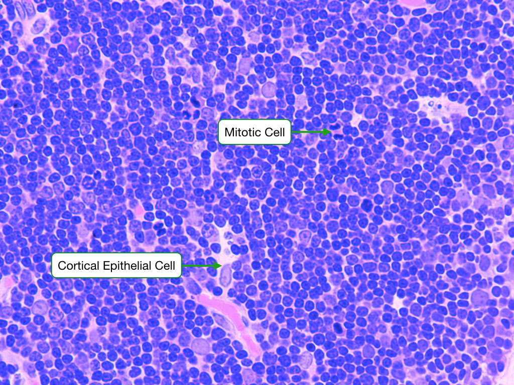 Immune System Readingp Lab