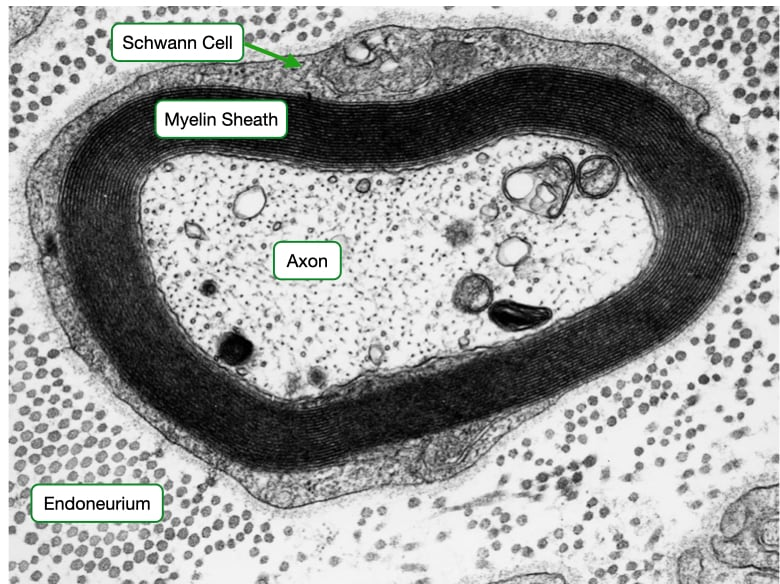 Electron micrograph of a myelinated axon.