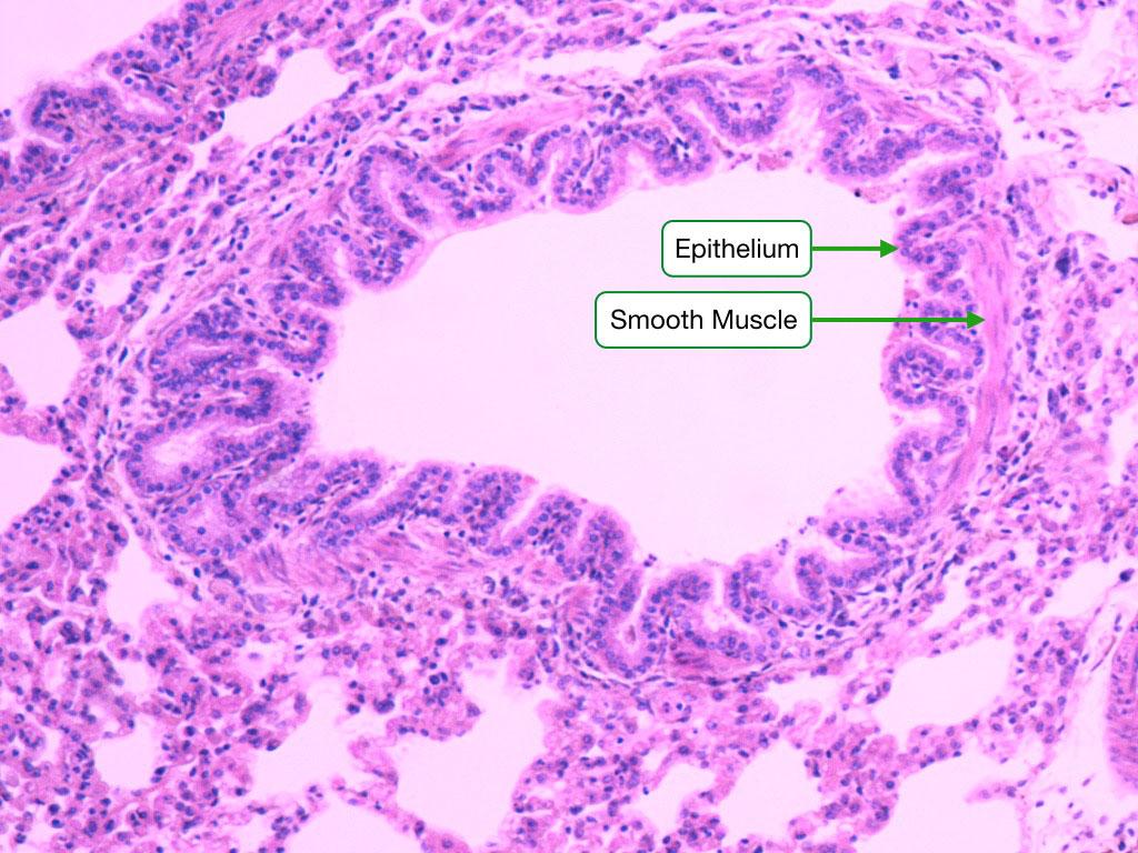 Respiratory System Readingp Lab