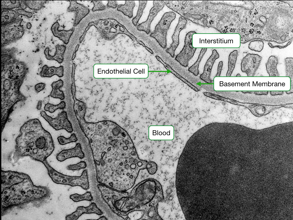 Electron micrograph showing the basement membrane of fenestrated capillary.