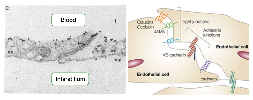 Electron micrograph and diagram showing the junctional complexes between endothelial cells.