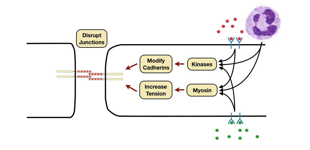 Diagram showing the mechanisms that loosen the adhesion between endothelial cells.