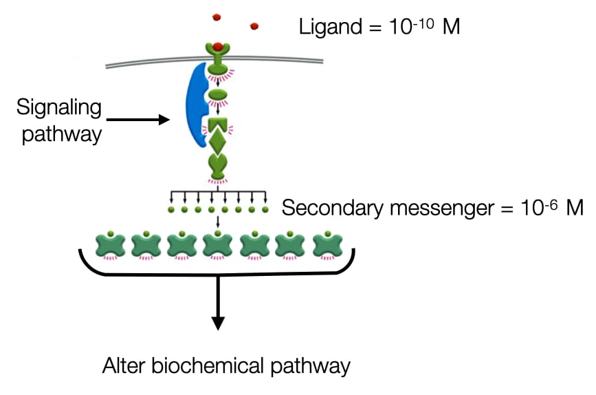 Digram showing how signaling pathways amplify the strength of signals through production of secondary messengers.