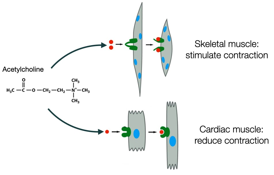 Diagram showing how a molecule can trigger different responses in different types of cells.