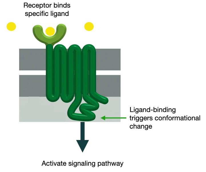 Cell Membrane Receptors