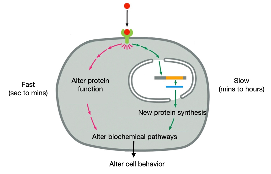 Diagram showing that signaling molecules can trigger a fast and reversible response in cells or a slow and often irreversible response.