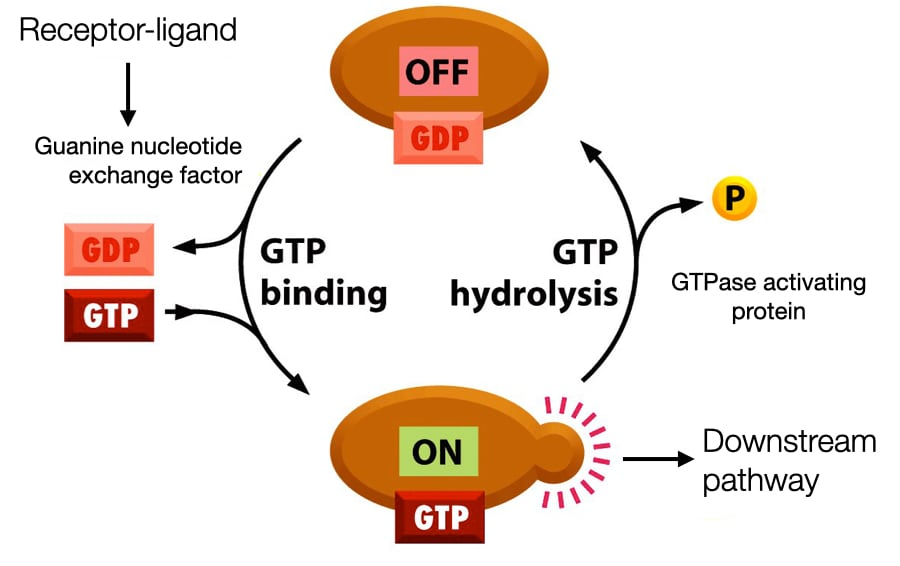 GTP-binding Proteins