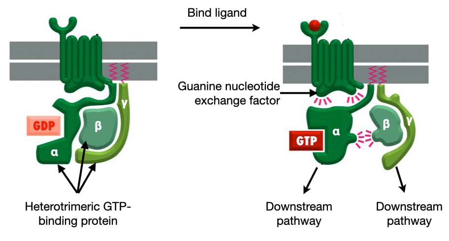Readingp lab heterotrimeric gtp binding proteins diagram ccuart Images