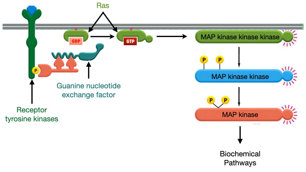 Diagram of how receptor tyrosine kinaes activate Ras and MAP kinases.