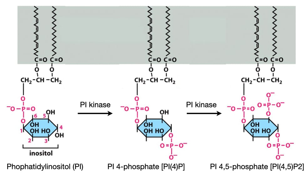Phosphatidylinositols