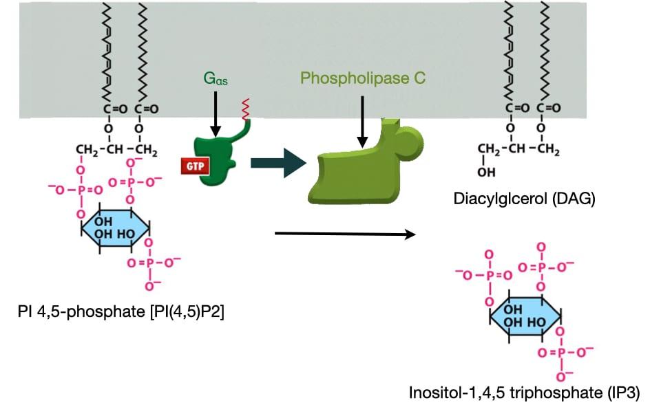 Phospholipase C