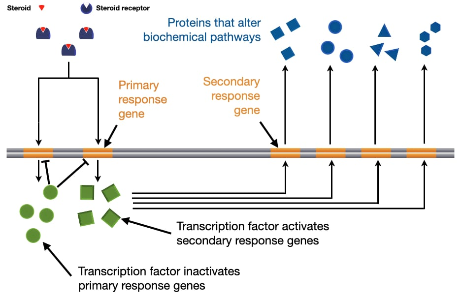 Diagram of how steroids trigger expression of primary response genes that then trigger expression of secondary response genes.
