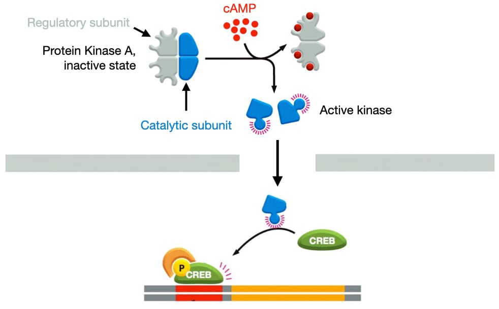 Protein Kinase A