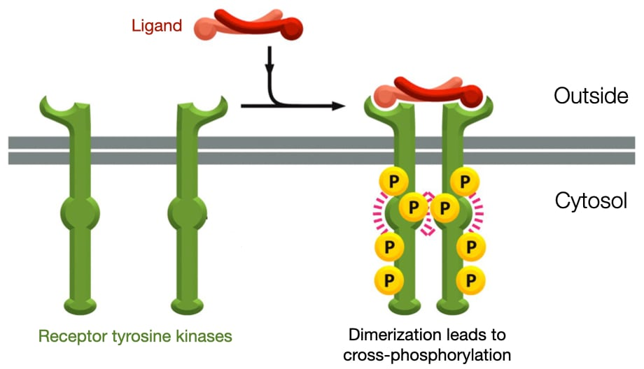 Receptor Tyrosine Kinase