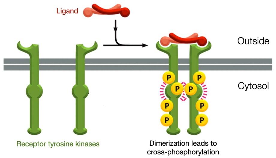 Diagram of how ligands activate tyrosine kinase receptors through cross-phosphorylation.