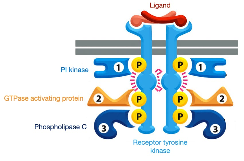 Diagram of how phosphorylation of the intracellular domains of receptor tyrosine kinases bind specific cytosolic proteins.