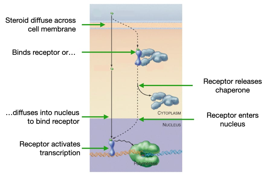 Diagram of how steroids activate transcription of specific genes.