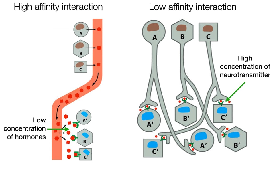 Diagram showing how the strength of interaction between molecule and receptor varies between different types of signaling.
