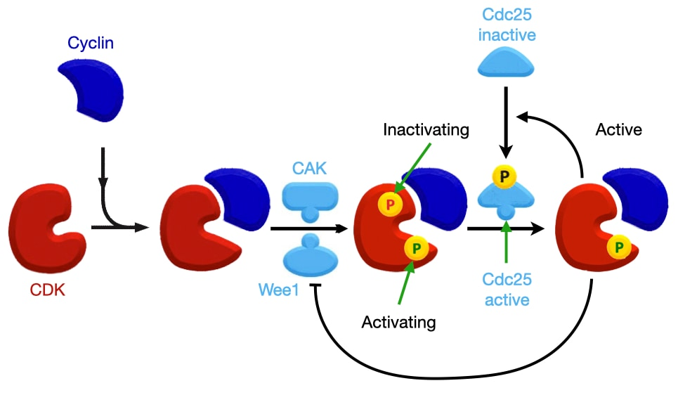 Activation of Cyclin-CDK