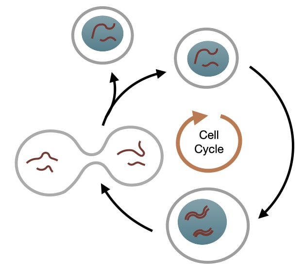 Cell Cycle Introduction