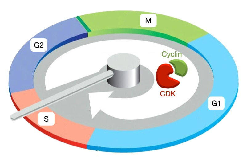 Cell Cycle Cyclin CDK Complex