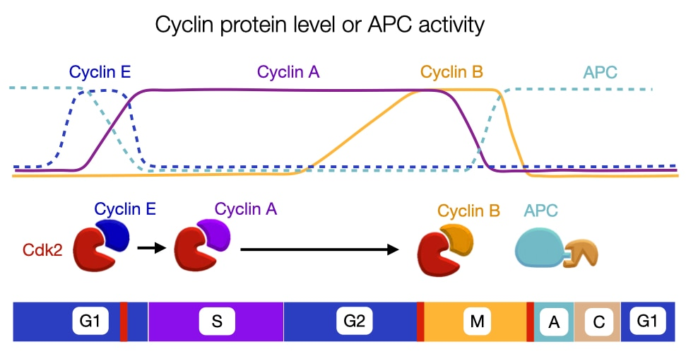 Cell Cycle Cyclin Expression