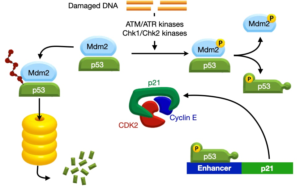 DNA Damage Triggers Activation of p53