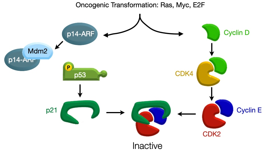 P53 Counteracts Oncogenes