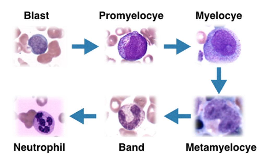 Differentiation of Neutrophils